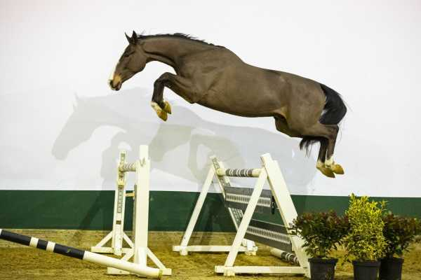 Youhorse.auction: German top-class rider invests in Heros van de Windelsteen Z